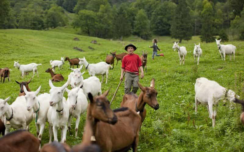 Kinder und Ziegen (c) Andreas Riedmiller - Bregenzerwald Tourismus