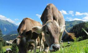 Richtiges Verhalten bei Wanderungen auf Almen mit Kühen