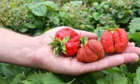 Erdbeeren aus der Region haben Saison